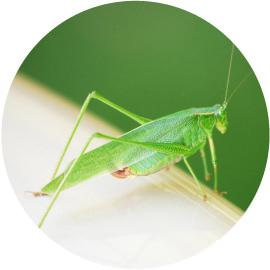 蟋蟀在戸(きりぎりすとにあり)イメージ