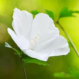 木槿(むくげ)写真