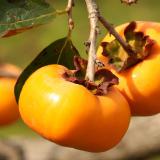 柿(かき)写真