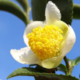 茶の花(ちゃのはな)写真