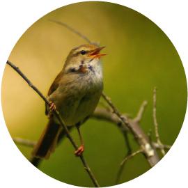 黄鶯睍�くイメージ画像