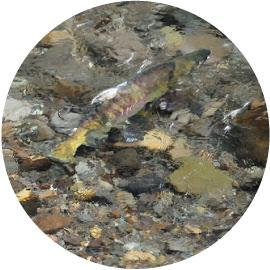 鱖魚群(さけのうおむらがる)イメージ