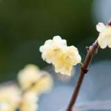 旬の花「臘梅(ろうばい)」