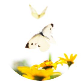 菜虫蝶と化すイメージ画像