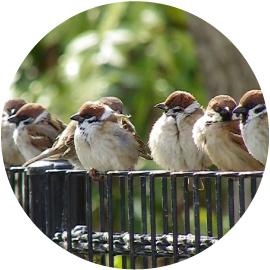 雀始めて巣くうイメージ画像