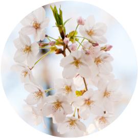 桜始めて開くイメージ画像