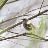 黄鶯睍睆 うぐいすなく