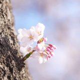 桜始開 さくらはじめてひらく