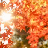 楓蔦黄 もみじつたきばむ