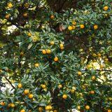 橘始黄 たちばなはじめてきばむ